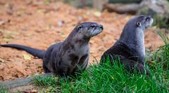 Otter Possy