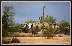 Saguaros_6506d