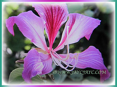 Lovely purplish-pink flower of Bauhinia purpurea (Orchid Tree, Purple Bauhinia, Butterfly Tree, Hawaiian/Purple Orchid Tree, Camel's Foot Tree), 18 Oct 2017
