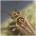 Valenzuela flavidus found in Kingmoor Nature Reserve, 20 October 17 (2 of 2)