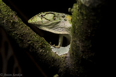 Monkey Lizard