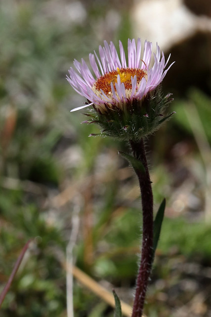 Header of Alpine Fleabane