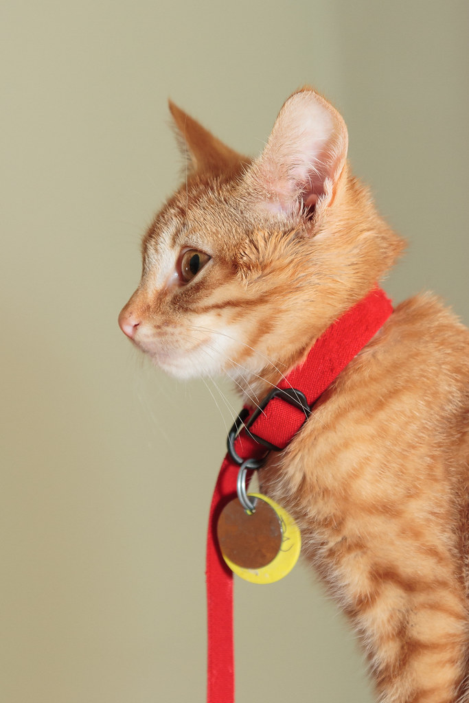 Our cat Sam as a kitten in 2007 with his tags hanging below his neck