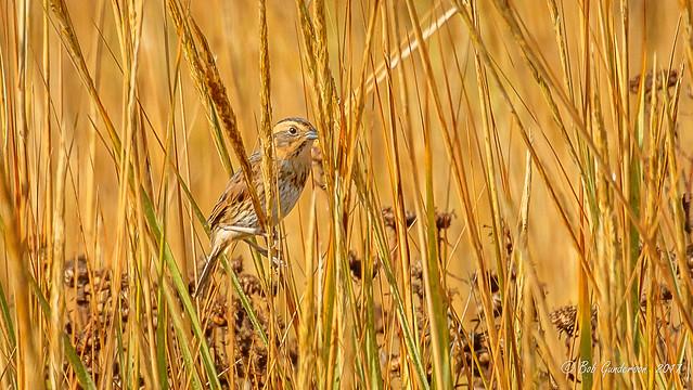 Nelson's Sparrow [Explored]