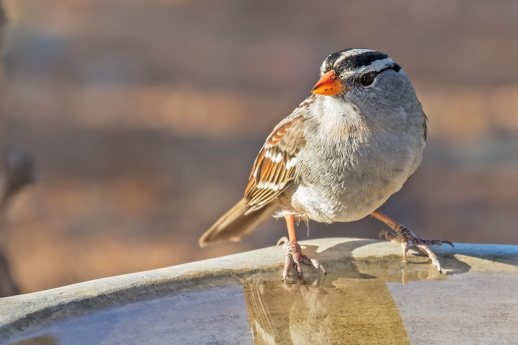White-crowned-Sparrow-3-7D2-102317