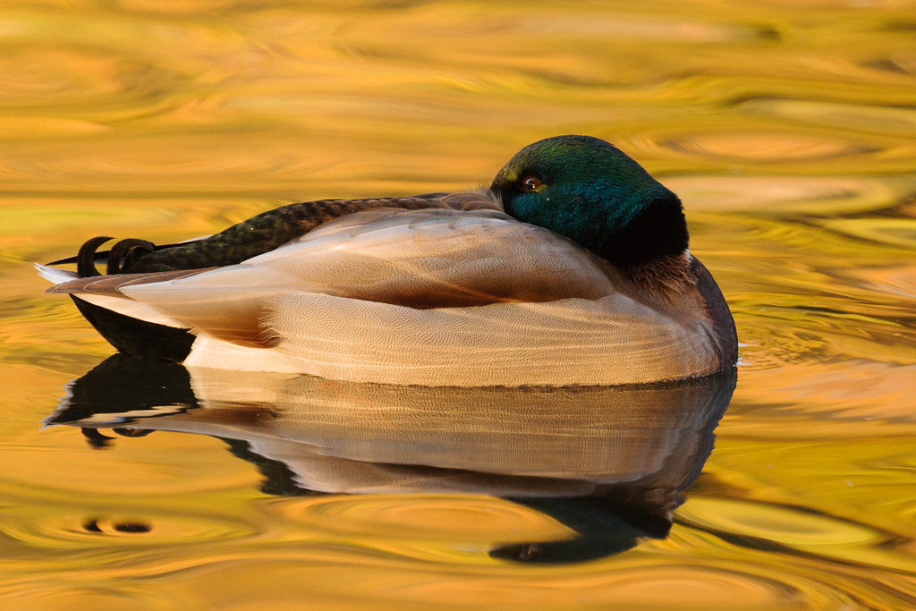 A mallard floats in a sea of yellow as a duck pond at Crystal Springs Rhododendron Garden has its water colored by reflections from the nearby trees