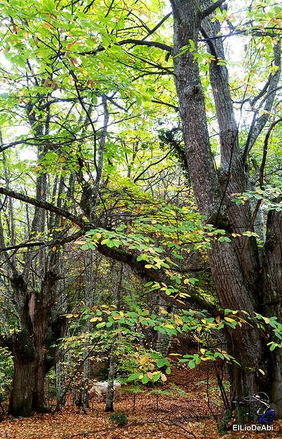 Ruta de los Castaños Centenarios en la Metrópoli Verde 15