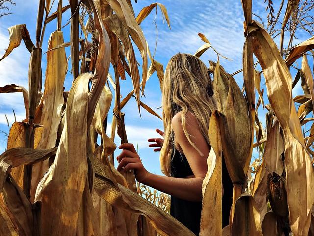 •in the cornfield•