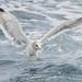 California Gull by Jeff Bray