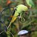 Ring necked Parakeet (2)