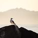 seagull por apmckinlay