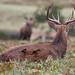 Red Deer Stag 10 Pt Cervus elaphus 008-1