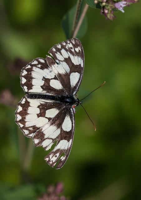 Marbled White 1