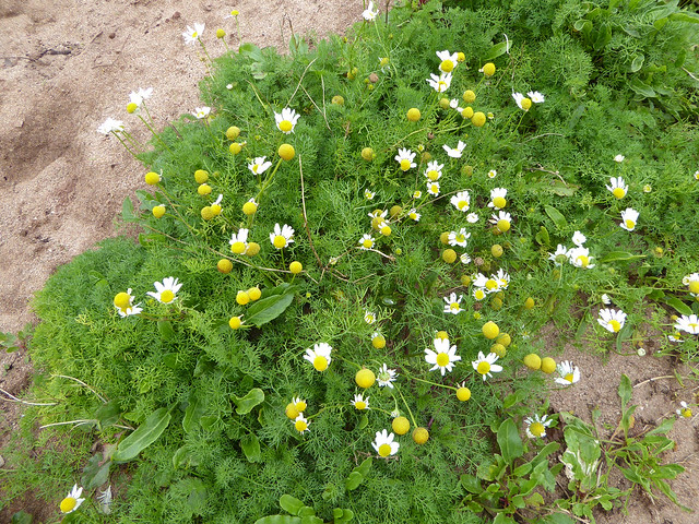 Sea Mayweed at Leas Foot Sands