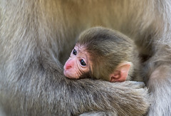 Infant Macaque at Snow Monkey Park, Japan