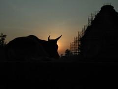 Konark bull