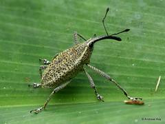 Weevil, Cholus sp., Curculionidae