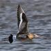 Black tailed Godwit Marshside RSPB D210bob DSC_6624