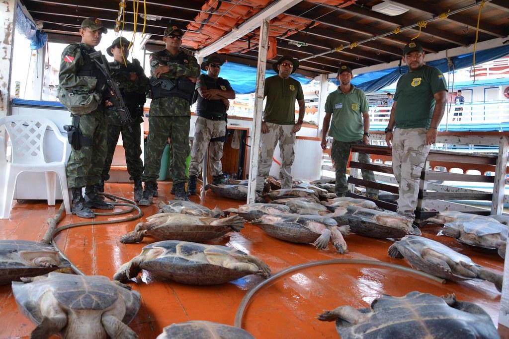 Operação da Semma e PM Ambiental captura 36 tartarugas em lago de Santarém, Tartaturas em Santarém