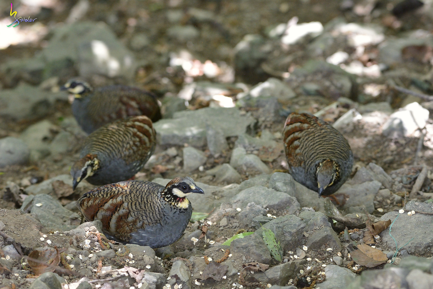 Taiwan_Hill_Partridge_5739