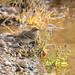 Yellow-rumped Warbler (3447)