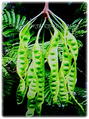 Mesmerising twisted and translucent pods of Parkia speciosa (Bitter Bean, Twisted Cluster Bean, Stink Bean, Petai in Malay) that emerge in a cluster of 7-8 pods, 31 Oct 2017