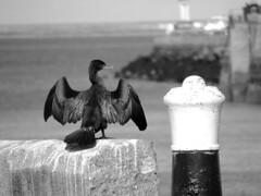 Cormoran au port de l'épi