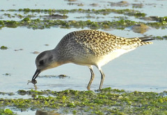 Grey Plover catching small crab.