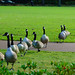 Canada geese on the march