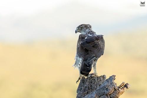 Aguia-de-bonelli, Bonelli's eagle (Aquila fasciata)