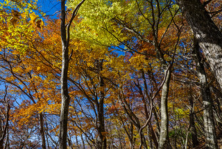 ブナの大木がこの辺りから綺麗に、、