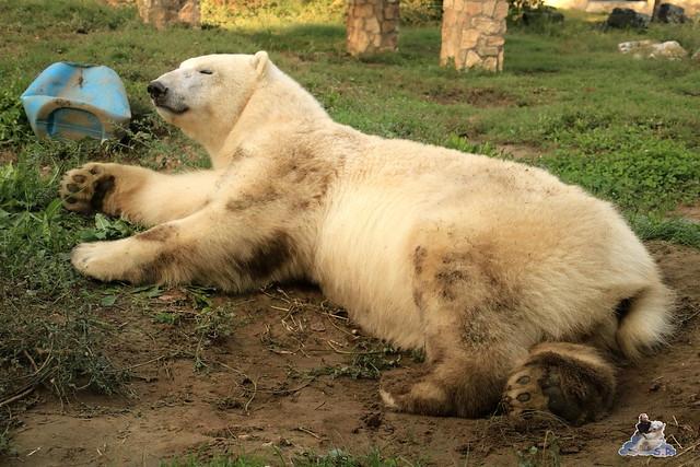 Eisbär Fiete im Sosto Zoo 30.09.2017 002