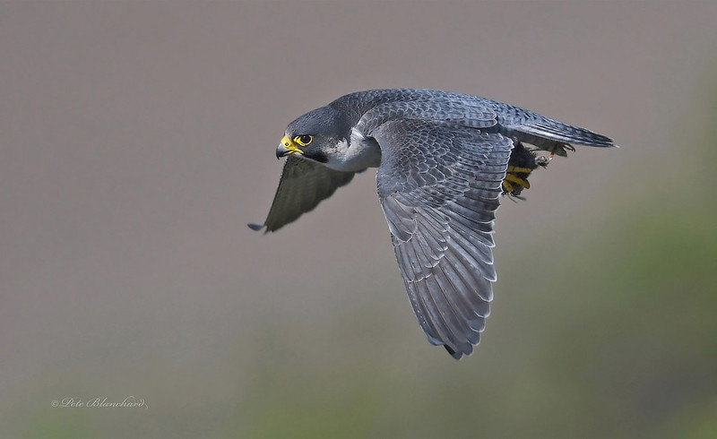Peregrine Falcon (explored)