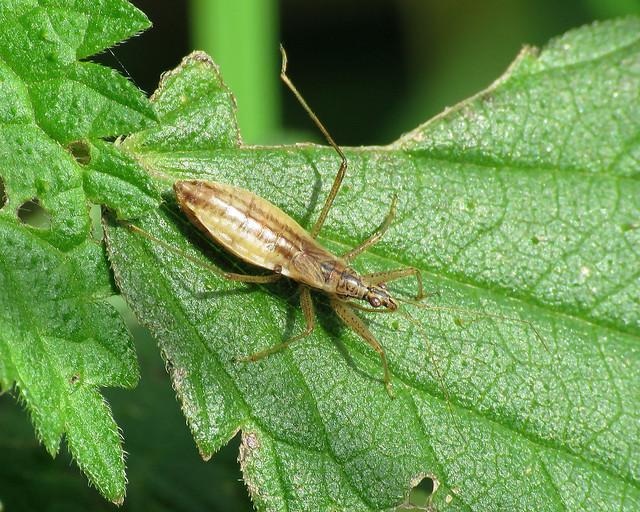 Marsh Damselbug - Nabis limbatus