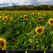 Sunflowers near Benfleet