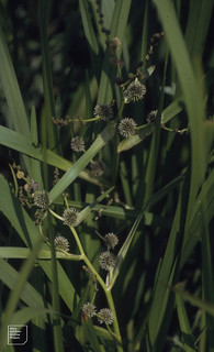 Branched bur reed. Nash Brook. Monknash. 1992