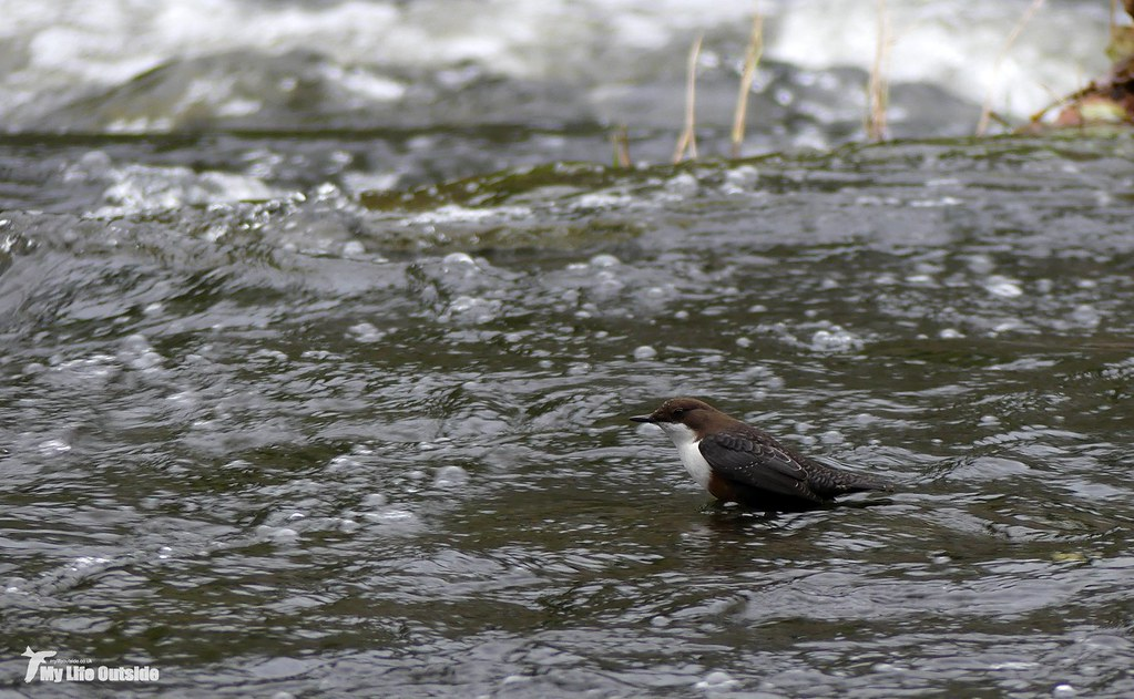 P1120602 - Dipper, Cenarth Falls