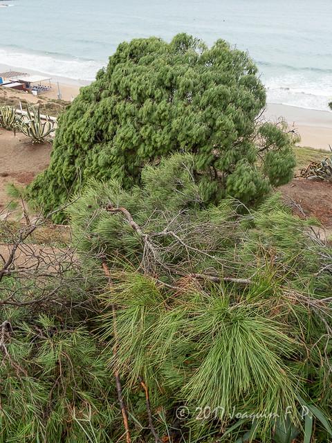 Pinos de la platja llarga