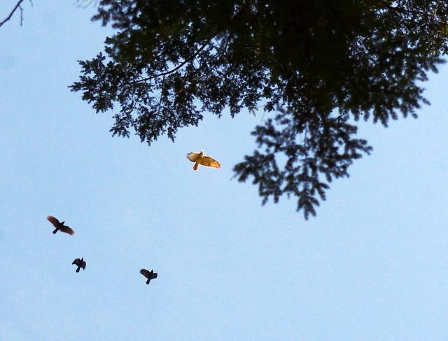 Three crows and a hawk