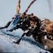 Cerambycidae w/ mites by Techuser