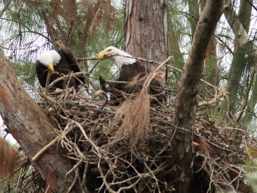 Bald Eagles work on nest 05-20171025