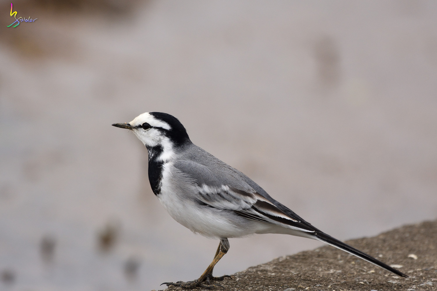 White_Wagtail_1486