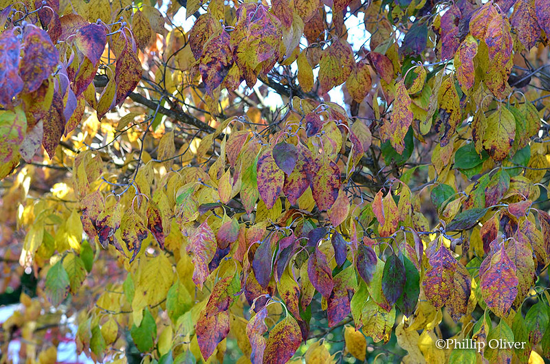 Dogwood (Cornus florida) Fall foliage