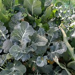 broccoli planting in Bigger vege bed by shiny