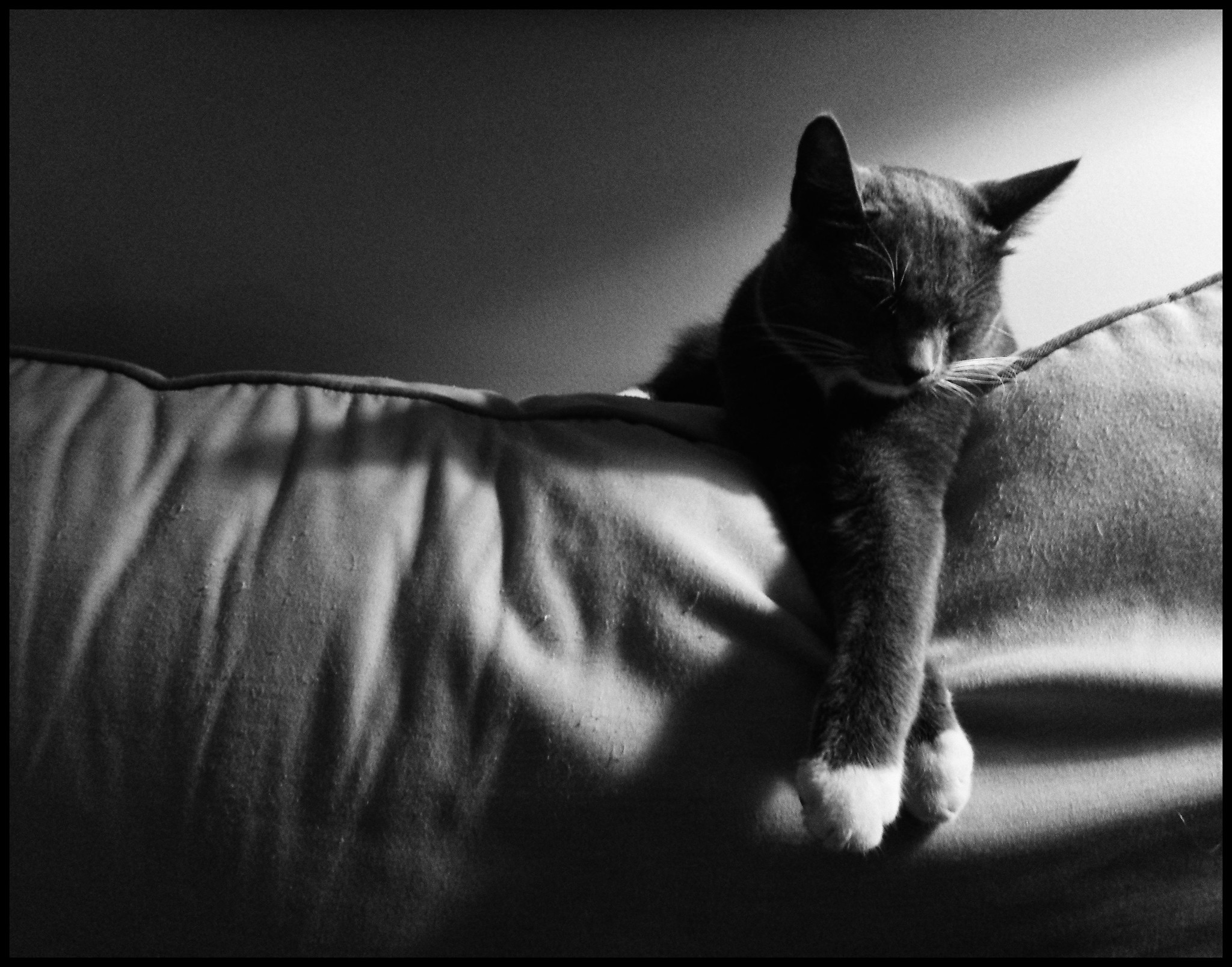 1012: black and white image of a grey cat with white paws crossed, asleep on the back of the couch.