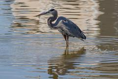Great Blue Heron Fishing-18