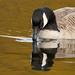 Canada Goose  (October 22, 2017 )17621.jpg