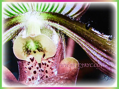 Closeup of Paphiopedilum barbatum (Slipper Orchid, Bearded Paphiopedilum, Lady's Slipper) showing its margins covered with small hairs and small raised blackish warts, 23 Oct 2017