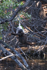 Bird caught in fishing line dies in tree,