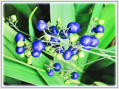 Numerous shiny and bright violet-blue fruits of Dianella ensifolia (Umbrella Dracaena, Flax Lily, Common Dianella, Sword-leaf Dracaena, Cerulean Flax-lily, Siak-Siak in Malay), 3 Oct 2017